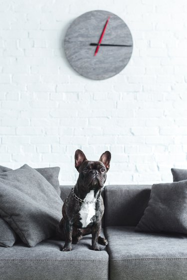 Cute french bulldog sitting on sofa under clock