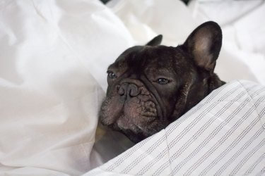 french bulldog in bed , resting or feeling ill and sick suffering with pain