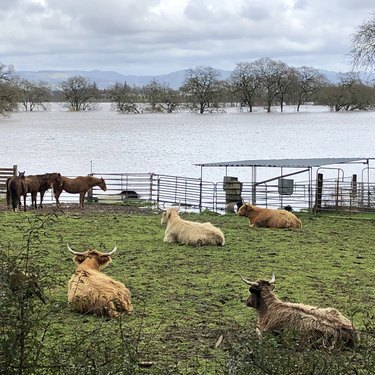 cows in a field watching a flood