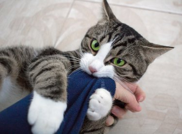 Domestic pet cat with bright green eyes plays biting arm