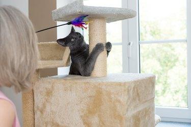 gray shorthair cat playful