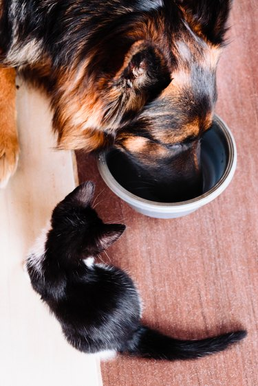High Angle View Of Dog With Kitten Eating Food At Home