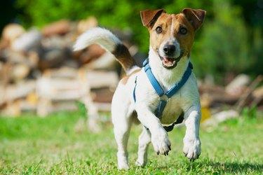 Jack Russel Terrier in a blue harness runs on grass.