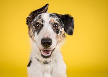 Happy Dog on Yellow Background