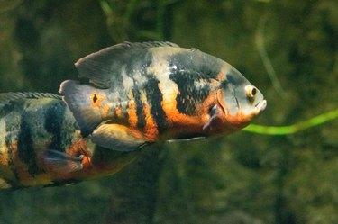 Oscar (fish) Close Up