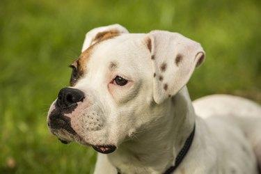 Portrait of Boxer (Canis Familiaris) puppy, Issaquah, Washington State, USA