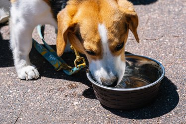 beagle dog drinking water out of a metal bowl
