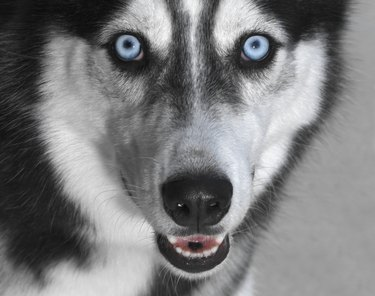Siberian husky, close-up