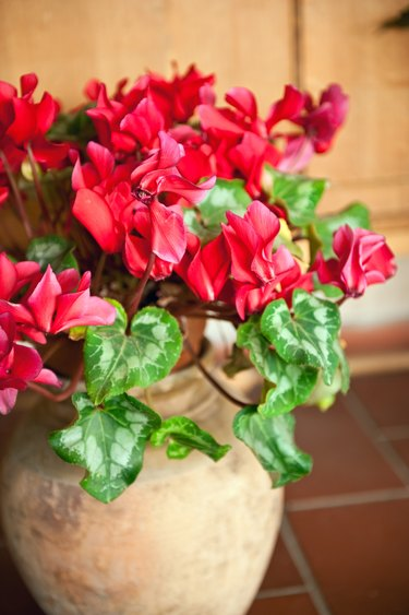 Cyclamen at terracotta flower pot