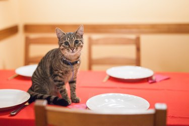 Kitten standing on the dinning table