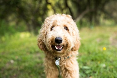 Happy Labradoodle Dog Outdoors