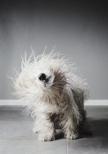 Coton de tulear dog shaking itself to dry its fur