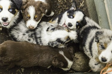 Overhead view of blue eyed sheepdog puppies in pen
