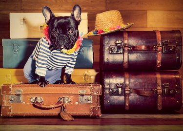 French Bulldog on suitcases
