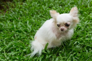 white chihuahua small cute dog, pet wound on neck