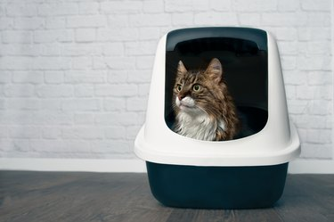 Young Maine Coon cat sitting in a closed llitter box and looking sideways.
