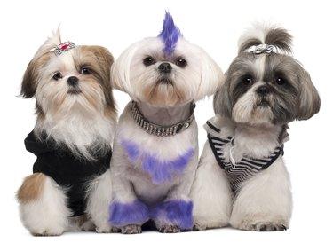 Three Shih Tzus dressed up