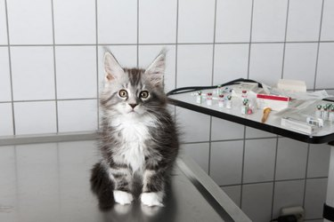 Portrait of kitten sitting on table at vet clinic