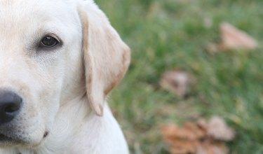 Sara Labrador retriever puppy