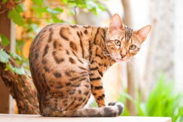 Bengal Cat sitting on Garden Table