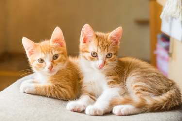 Cats. Cute ginger kittens