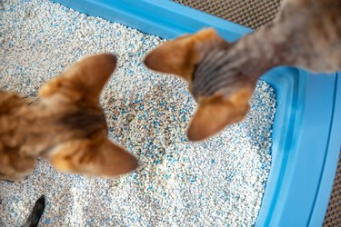 High Angle View of Curious Devon Rex Kittens Examining Dirty Cat Sand in Litter Box - stock photo