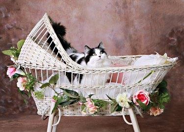 Cat in a Bassinet