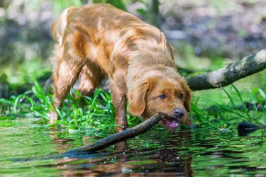 Nova Scotia Duck Tolling Retriever puppy at a puddle