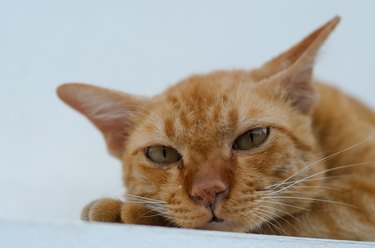 a young yellow cat is laying down and looking at the camera