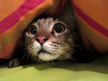 Scared Cat Under a Blanket