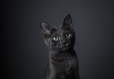 Stunning Black Kitten - The Amanda Collection