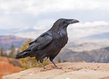 Common Raven on a rock ledge