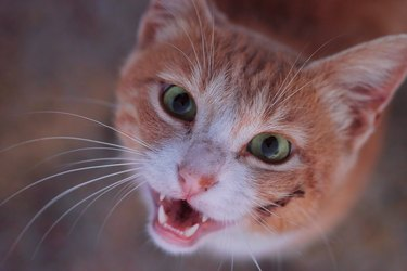 orange cat with mouth open smiling up at camera