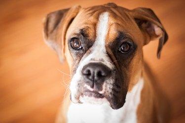 Boxer Puppy Closeup