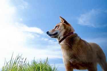 A blue sky and Japanese midget Shiba