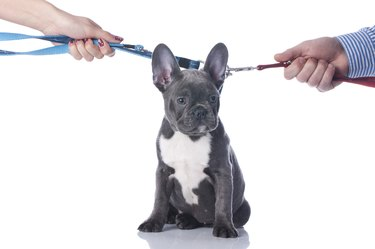 French bulldog with two hands divorce