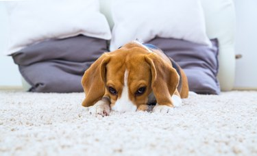 Dog relaxing on the carpet