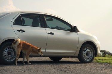 dog urinating on car