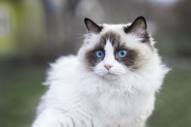 A young ragdoll cat outdoors