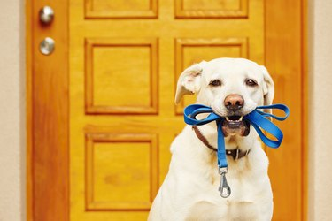 Dog with leash in mouth in front of door