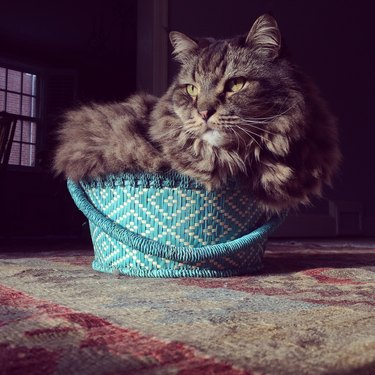 Maine Coon in Basket