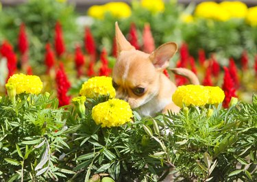 Red puppy sniffing yellow flower.