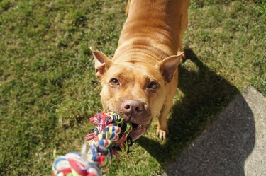 Pitbull Dog with Rope Toy