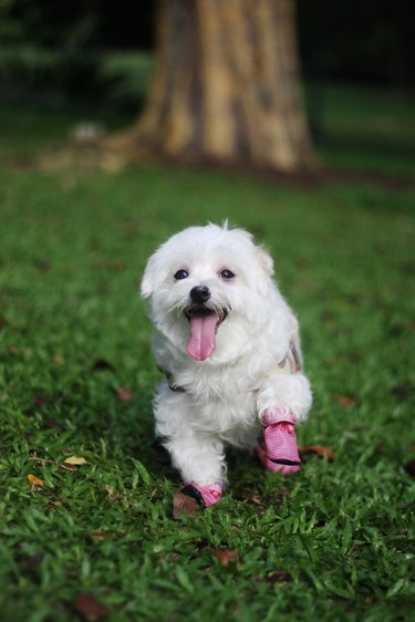 Happy dog with her new shoe