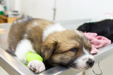 illness puppy(Thai Bangkaew Dog) with catheter at its leg