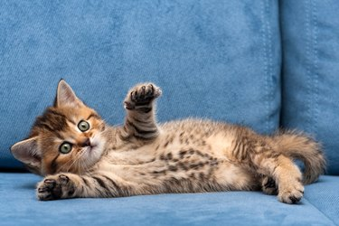 Charming brown British small cat lying on a blue sofa with one front paw up