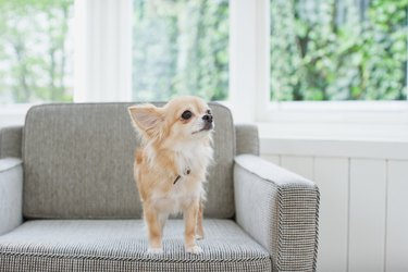 chihuahua on an armchair