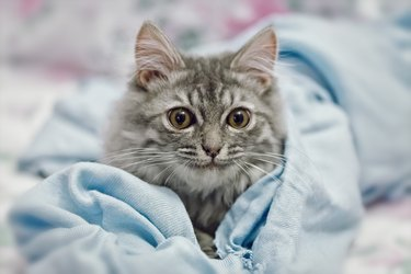 Playing small cute kitten on sofa with blue scarf