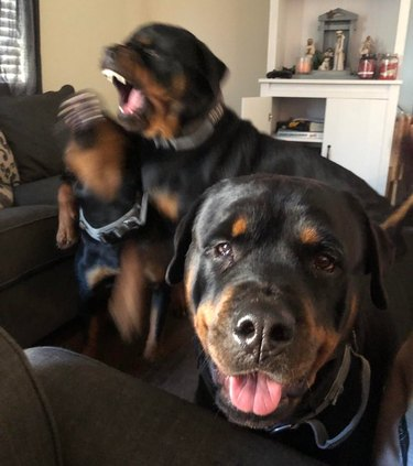 Rottweiler sits for the camera while two blurry Rottweilers fight behind it