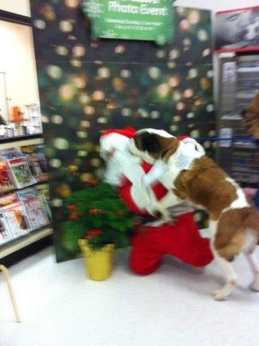 Large blurry dog tackling someone dressed as Santa Claus